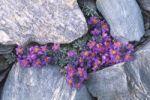 Thumbnail Alpine toadflax Linaria alpina, National Park Hohe Tauern, East Tyrol, Austria, Europ
