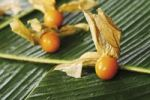 Thumbnail Cape Gooseberry Physalis, fruits with husks on banana leaves