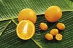 Thumbnail Oranges Citrus sinensis, and Kumquats or Cumquats Fortunella on banana leaves