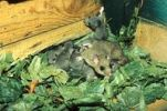 Thumbnail Edible Dormouse Glis glis with young animals in a nest made of leaves, Allgaeu, Germany, Europe