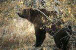 Thumbnail Grizzly Bear Ursus arctos horribilis, Denali National Park, Alaska, North America