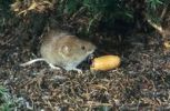 Thumbnail Bank Vole Clethrionomys glareolus feeding on acorn, Allgaeu, Germany, Europe