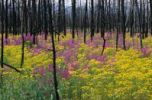 Thumbnail Fireweed Epilobium angustifolium and Ragwort Senecio fuchsil in a burnt down forest, Yukon, Canada, North America