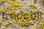 Thumbnail restharrow  Ononis hebecarpa  , Jandia , Fuerteventura , Canary Islands