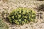 Thumbnail Euphorbia obtusifolia , Fuerteventura , Canary Islands