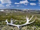 Thumbnail Reindeer antler, blue sky, cumulus clouds, Haverdalen Valley, Dovre National Park, Norway, Scandinavia, Northern Europe
