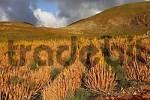 Thumbnail plantation of Aloe vera , Tuineje , Fuerteventura , Canary Islands