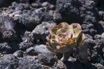 Thumbnail Succulent on lava rocks, La Palma, Canary Islands, Spain, Europe