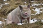Thumbnail Domestic Pig Sus scrofa scrofa in snow patched field