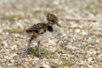 Thumbnail Northern Lapwing, Peewit or Green Plover (Vanellus vanellus), chick standing on the beach, Apetlon, Lake Neusiedl, Burgenland, Austria, Europe