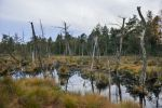 Thumbnail Dead trees in a rewetted peatlands in a bog / Tister Bauernmoor, Lower Saxony, Germany, Europe