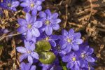 Thumbnail Noble Liverleaf (Hepatica nobilis) /