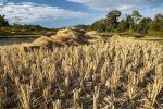 Thumbnail Harvested rice paddies, Northern Thailand, Thailand, Asia