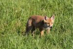 Thumbnail Young red fox (Vulpes vulpes) in the field, Allgaeu, Bavaria, Germany, Europe