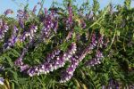 Thumbnail Bird vetch (Vicia cracca), Allgaeu, Bavaria, Germany, Europe