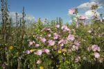 Thumbnail Flower meadow, Allgaeu, Bavaria, Germany, Europe