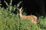 Thumbnail Red deer (Cervus elaphus), female, hind, watchful at the edge of the forest, Allgaeu, Bavaria, Germany, Europe