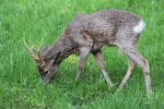 Thumbnail Roe Deer (Capreolus capreolus), buck moulting from a winter to a summer coat /
