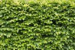 Thumbnail Beech (Fagus sp.) hedge