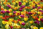 Thumbnail Blooming colourful Tulips (Tulipa) /