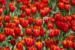 Thumbnail Blooming red Tulips (Tulipa) /