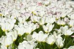 Thumbnail Blooming white Tulips (Tulipa) /
