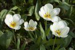 Thumbnail White Tulips (Tulipa)