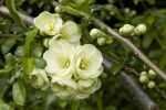 Thumbnail Flowering Quince (Chaenomeles x superba), flowers and buds Germany, Europe