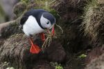Thumbnail Puffin (Fratercula arctica), Latrabjarg Peninsula, West Fjords, Iceland, Europe