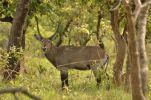 Thumbnail Defassa Waterbuck (Kobus ellipsiprymnus defassa), Bouba-Ndjida National Park, Cameroon, Central Africa, Africa