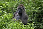 Thumbnail Western Lowland Gorilla (Gorilla gorilla) at Limbe Wildlife Centre, Limbe, Cameroon, Central Africa, Africa