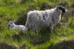 Thumbnail Sheep and lamb / Grey Mare's Tail Nature Reserve, Borders District, Schottland, United Kingdom, Europe