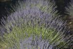 Thumbnail Lavender field, Provence, Provence-Alpes-Cote, France, Europe / Ganagobie, Ganagobie, Provence-Alpes-Côte d?Azur, France, Europe