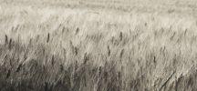 Thumbnail Field of grain, Provence, Provence-Alpes-Cote, France, Europe /
