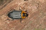 Thumbnail Burying beetle or Carrion beetle (Oxelytrum discicolle), (Silphidae), Tandayapa region, Andean cloud forest, Ecuador, South America