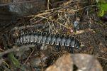 Thumbnail Millipede (Polydesmida), Ecuador, Tiputini rain forest, Yasuni National Park, Ecuador, South America