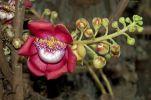 Thumbnail Shivalinga Flower, Ayahuma or Cannonball Tree (Couroupita guianensis), Lecythidaceae, Royal Palace, Phnom Penh, Cambodia, Southeast Asia /