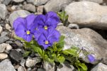 Thumbnail Mont-Cenis violets or pansies (Viola cenisia) /