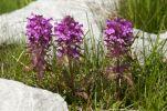 Thumbnail Verticillate lousewort (Pedicularis verticillata) /