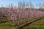Thumbnail Blossoming Peach (Prunus persica) trees on a plantation / Pyrénées-Orientales, France, Europe