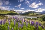 Thumbnail Lupines (Lupinus) on the Waimakariri River, Craigieburn Range, Canterbury, South Island, New Zealand, Oceania