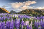 Thumbnail Lupines (Lupinus), Craigieburn Range, Canterbury, South Island, New Zealand, Oceania