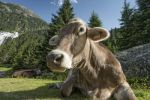 Thumbnail Tyrolean Brown Cattle, cow without horns ruminating, Grawa Alm, mountain pasture, Stubai Valley, Tyrol, Austria, Europe