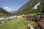 Thumbnail Tyrolean Brown Cattle, cows without horns ruminating, Grawa Alm, mountain pasture, Stubai Valley, Tyrol, Austria, Europe