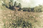 Thumbnail Meadow Buttercup (Ranunculus acris), flower meadow, distorted, Lans, Tyrol, Austria, Europe