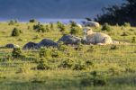 Thumbnail Sheep resting on grassland, Hoopers Inlet, Otago Peninsula, South Island, New Zealand, Oceania