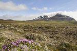 Thumbnail Moss campion or Cushion Pink (Silene acaulis), Bakkahei?i, north coast, Iceland, Europe