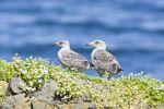 Thumbnail Young Great Black-backed Gull (Larus marinus), hike at Fuglabjagarnes, northeastern coast, Vopnafjoer?ur, Iceland, Europe