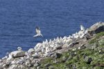 Thumbnail Northern Gannets (Morus bassanus), colony on a volcanic vent in the sea, Rau?inupur, Iceland, Europe