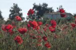 Thumbnail Red Poppies (Papaver rhoeas) on a ruderal area, Makrigialos, Greece, Europe